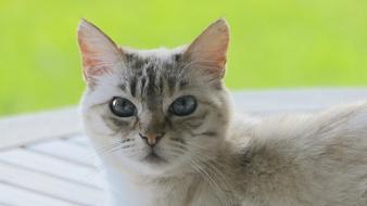 photo of a gray domestic cat on a green background