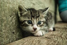 grey kitten laying at wall