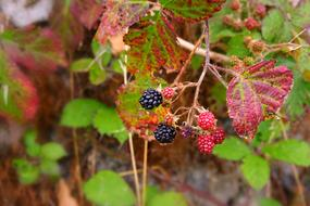 amazing Blackberry Fruit