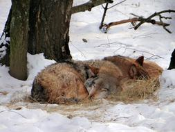 two wolves sleep in the winter forest