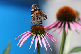 Butterfly and Echinacea Flower