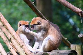 Monkey taking care for her mate