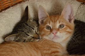 red and grey Kittens resting together