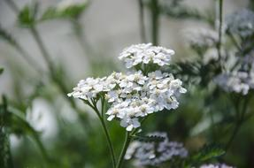 Yarrow Medicine flowers