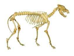 wolf skeleton anatomy
