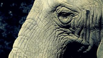 Elephant, detail, Trunk and Eye