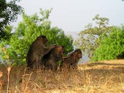 berber monkeys look for fleas from each other