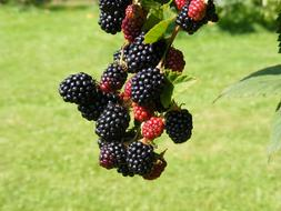 photo of red and black blackberries on a branch in the garden