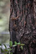 beautiful brown squirrel climbs a tree trunk