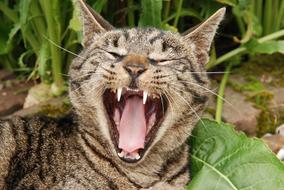 photo of yawning tabby domestic cat