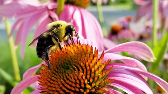 bee on the fluffy core of echinacea