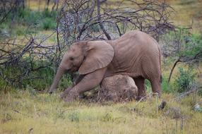 elephant scratches his stomach on a stone in the steppe in Africa