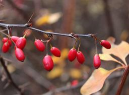 bright red berries of barberry