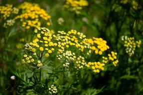 Tansy, plant with Yellow Flowers