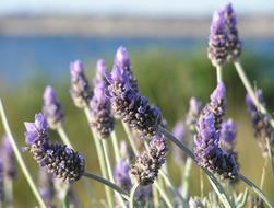macro photo of blooming lavender on the shore of a pond