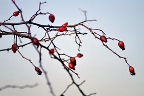 red berries on bare branches of rose hips