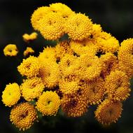 magnificent yellow Tansy Flowers