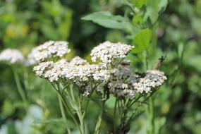 Nature Yarrow Meadow flowers