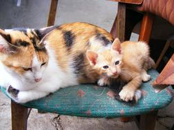 spotted cat and ginger kitten on a chair