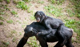 Chimpanzee Mother walking with Child on her back
