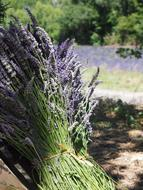 Lavender Tufts flowers