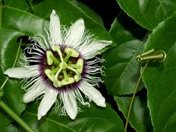 Passion Flower white green