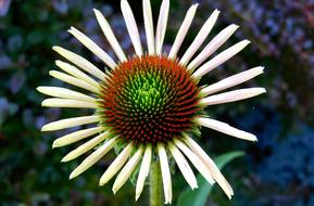coneflower, top view, close up