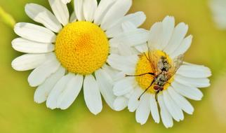 Chamomile Flower Herbal and bee