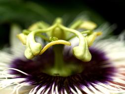 Passion Flower Fruit macro photo