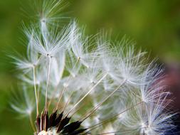 Close-up of the beautiful, white, fluffy dandelion flower with seeds, at blurred background