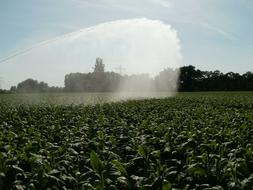 Fields Tobacco Pouring water