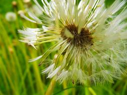 Macro photo of Dandelion Fluffy