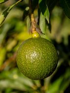 Beautiful, green, ripe reed avocado on the branch