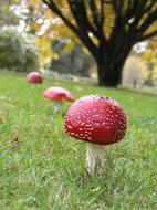 red toadstool mushrooms in a row on the grass