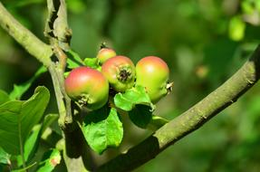 pink green apples on a branch