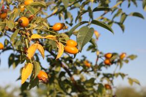 Canina Fruits orange bush