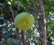 green grapefruit on the tree close up