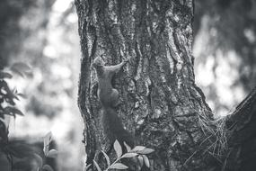 monochrome photo of a squirrel on a tree trunk