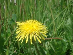 medicinal yellow dandelion among green grass