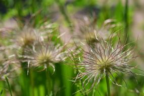Pasque Flower Pulsatilla flowers
