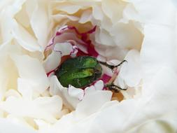 green beetle in a white peony bud