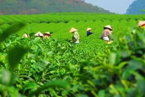 workers Tea Plantation