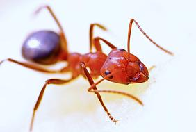 delightful red Ant Insect