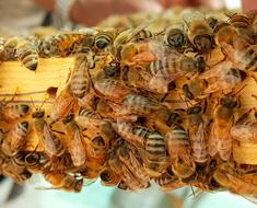 honeybees on the wooden stick
