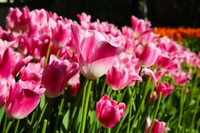 pink Tulips on Field