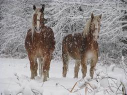 Horses Winter snow forest