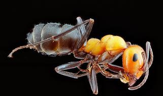 macro photo of a large ant