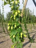 Fresh Hops Craft