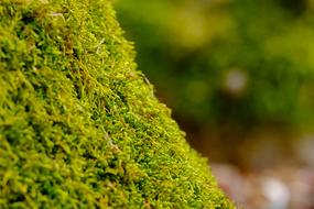 green fresh Moss close up