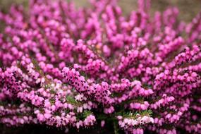 charming Heather Flowers